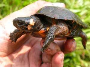 New Jersey bog turtle