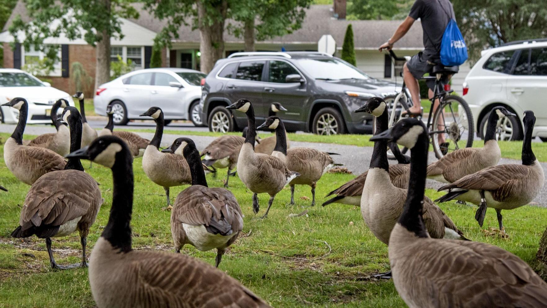 Absecon man weary of dealing with Canada geese