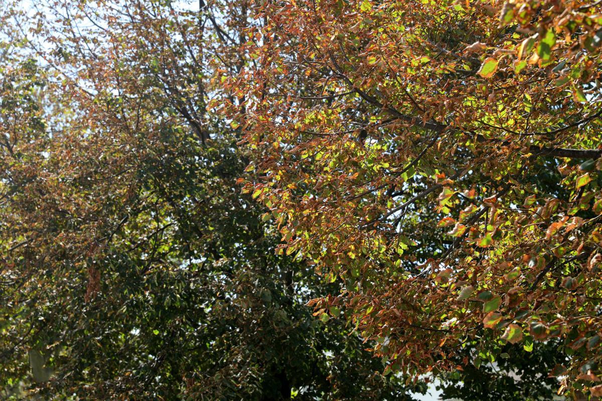082020_nws_trees 533