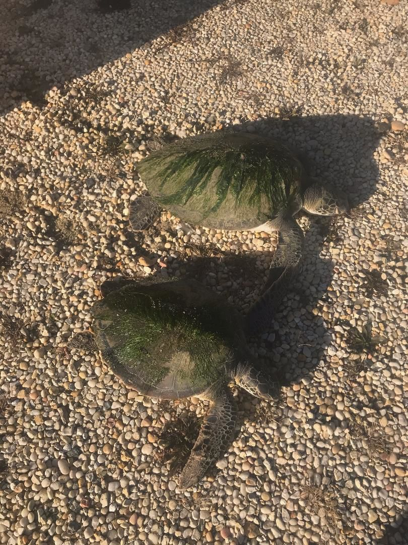 111619_nws_turtles