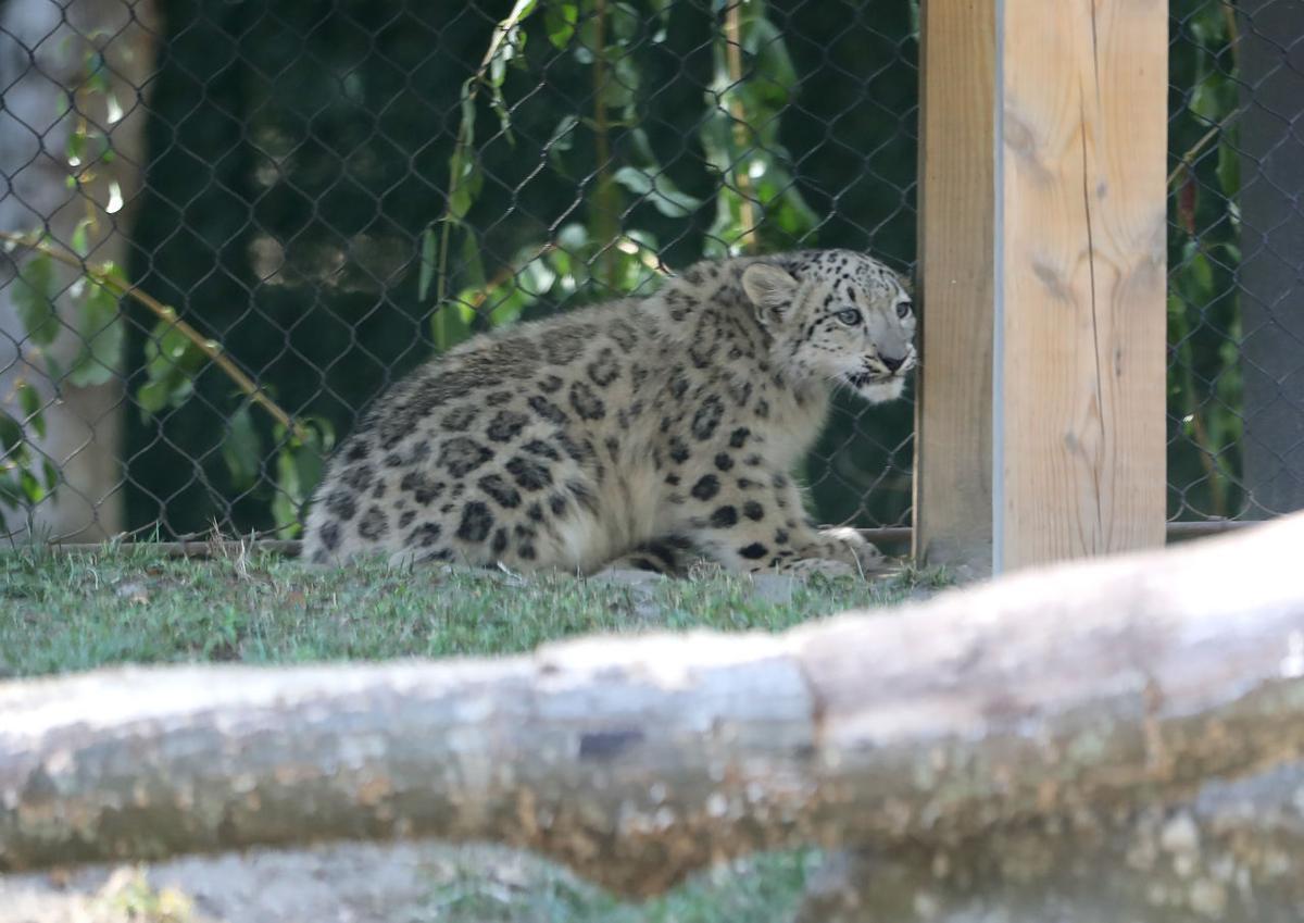Snow Leopard Cub Dies
