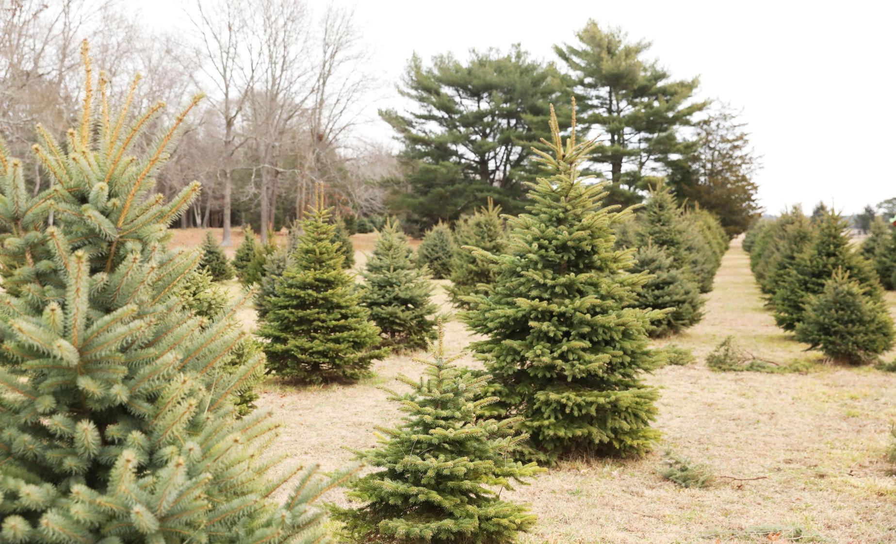 When it comes to christmas trees holiday shoppers will for Where do christmas trees come from