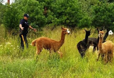 Alpacas and cows escape, roam Egg Harbor Township