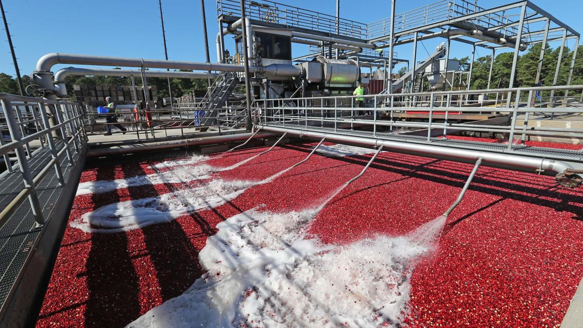 South jersey cranberry harvest mid way through season