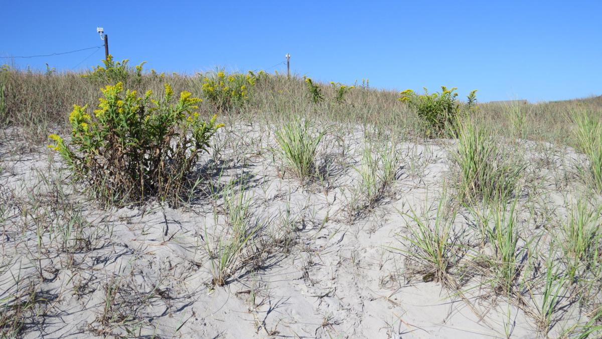 Longport old dunes 2