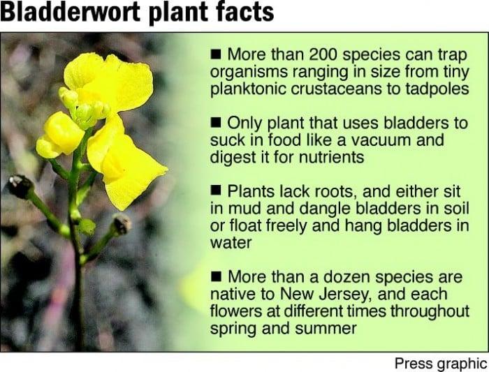 Bladderwort plant facts