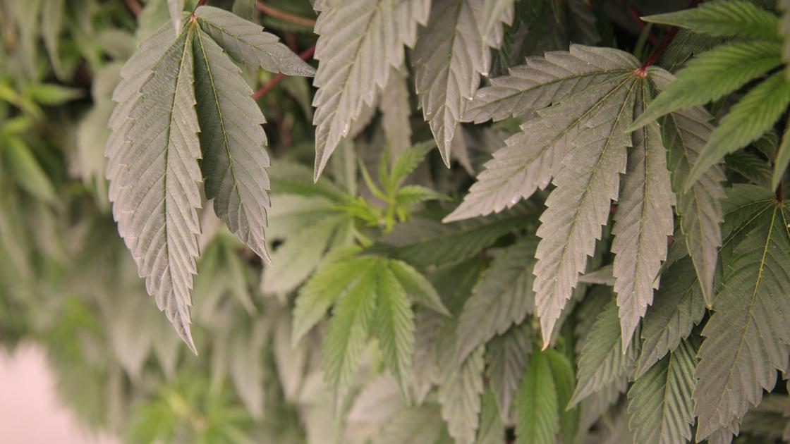 Congressional candidates split on legalizing recreational marijuana