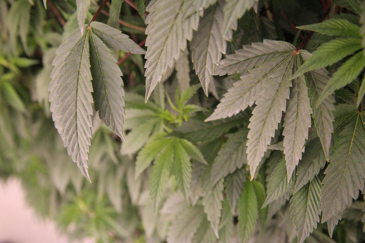 Vertical cannabis grow
