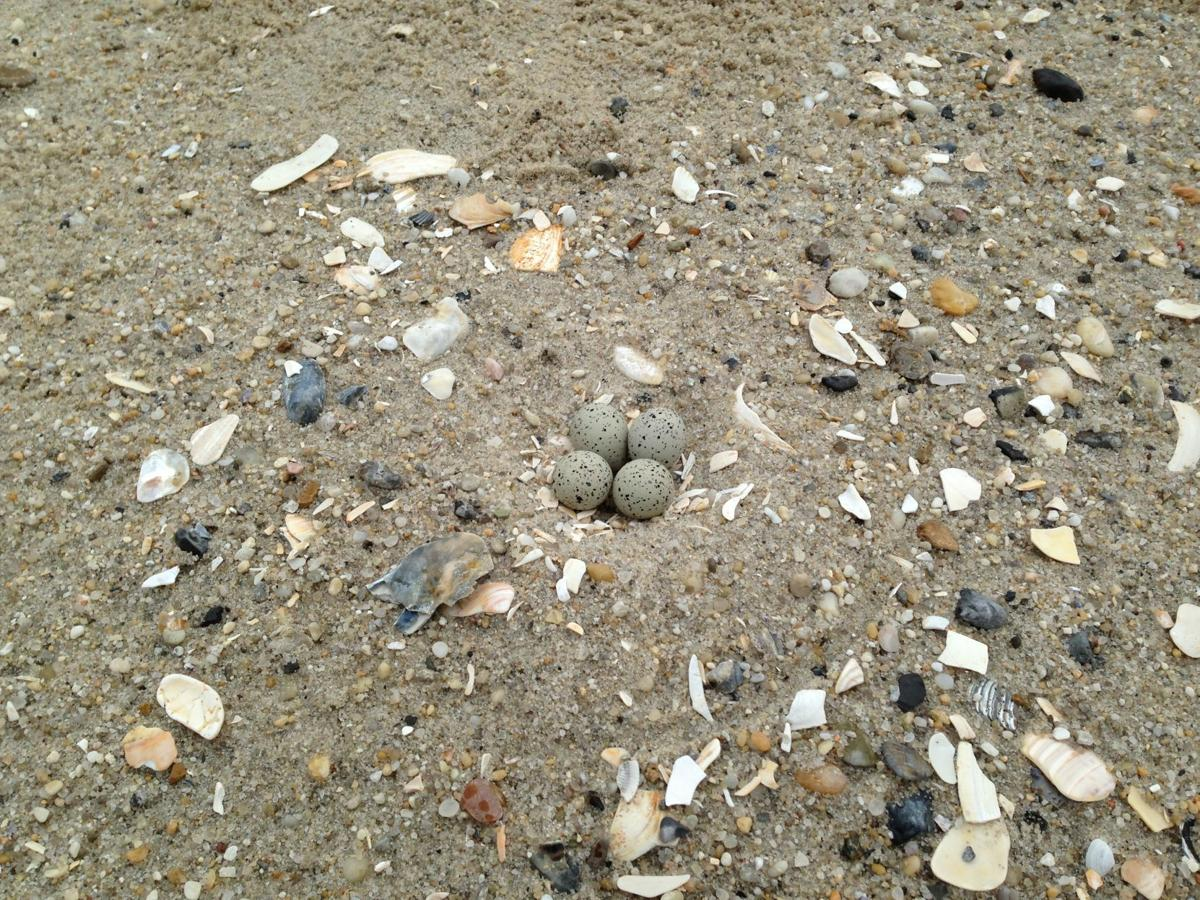 Piping plover nest at Cape May Point 2013