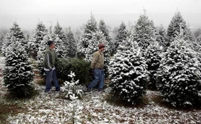 Learning The Differences Between Christmas Tree Types Living