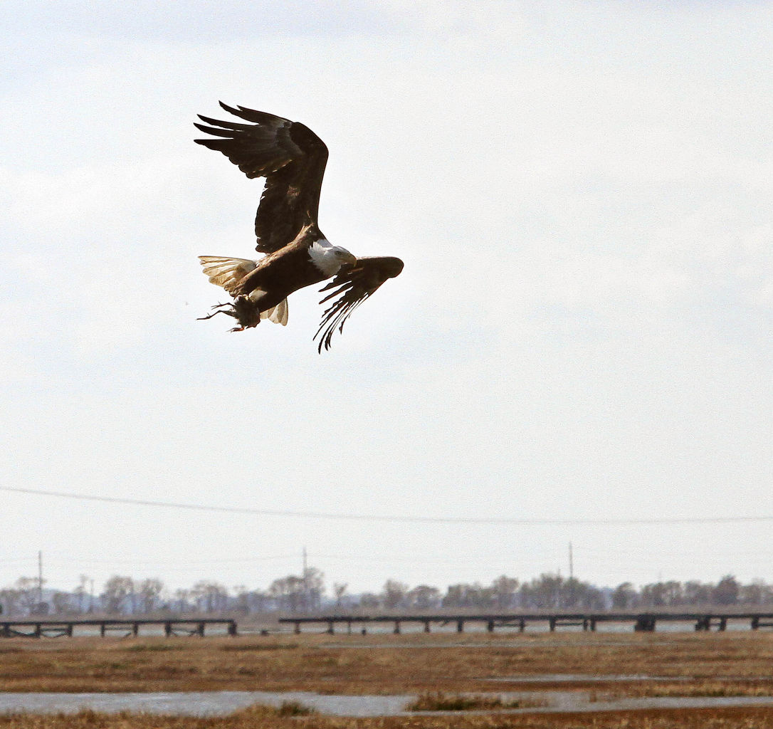 Bald Eagle flies over marshes in Grassy Sound, Middle Township