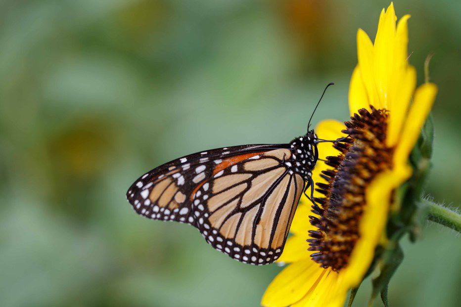 Wildflower meadow butterfly with sunflower.jpg