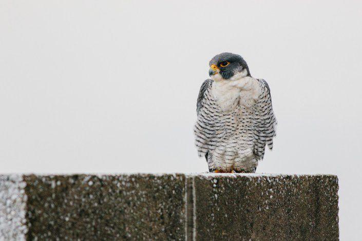 Peregrine falcon in Jersey City