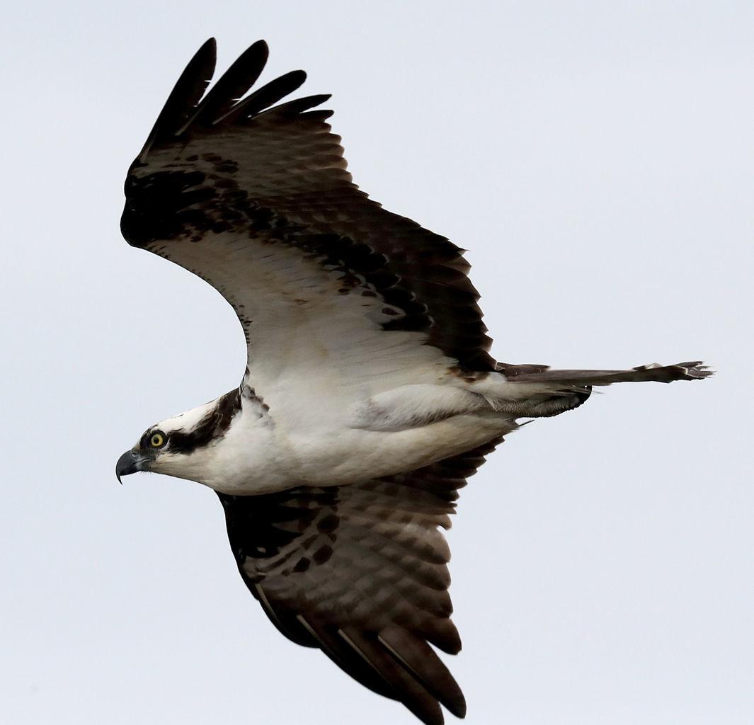 Osprey Eagle Otter