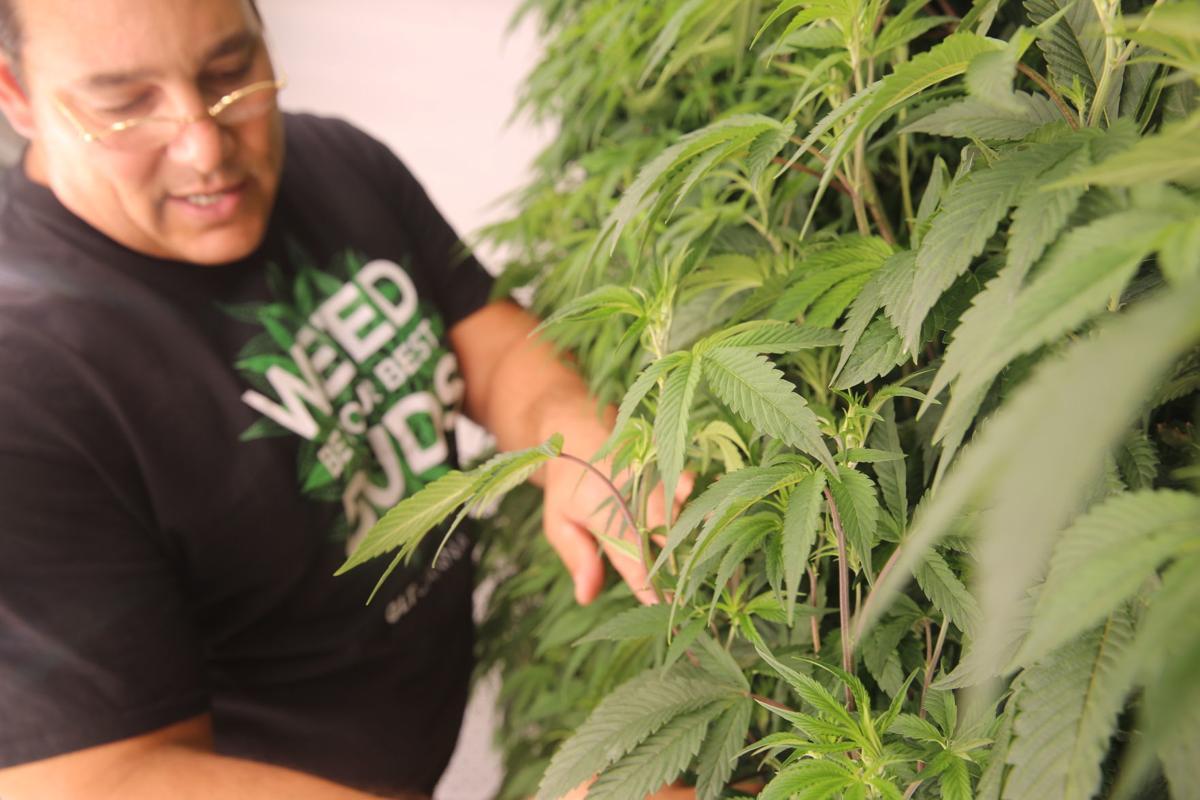 Vertical cannabis grow (36)