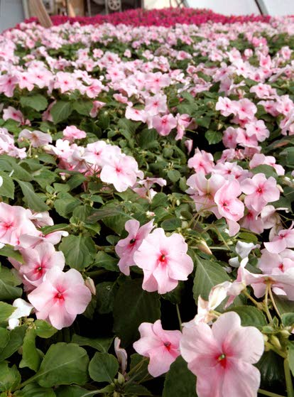 Green Thumbs: Downy mildew fungus strikes popular impatiens bedding plants