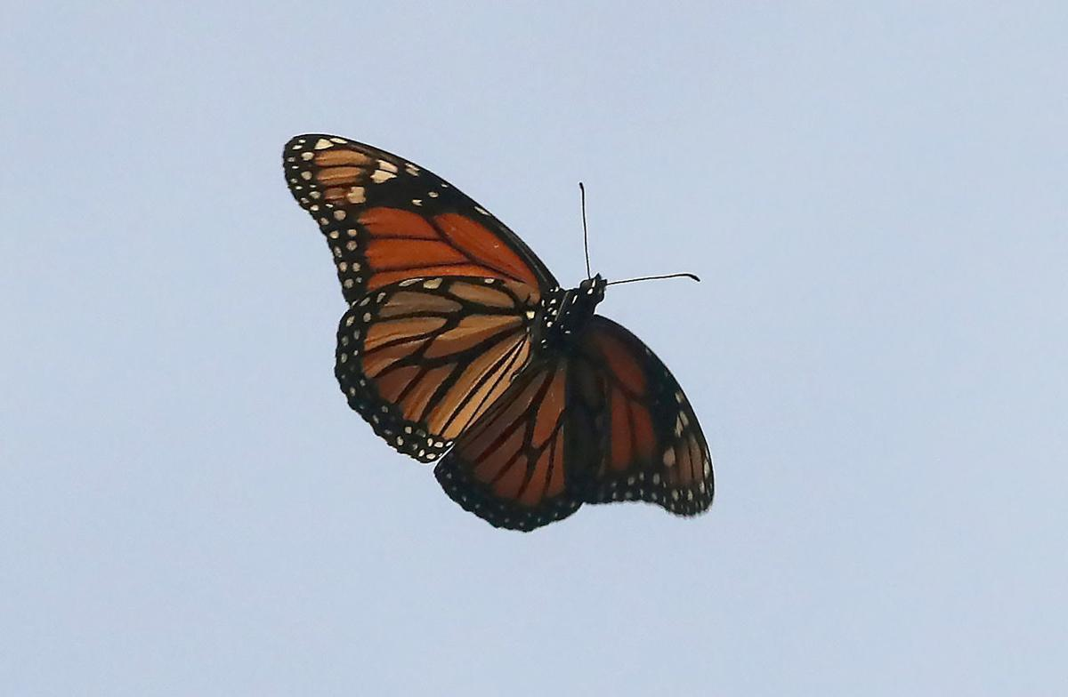 Monarch Butterfly Cape May Point