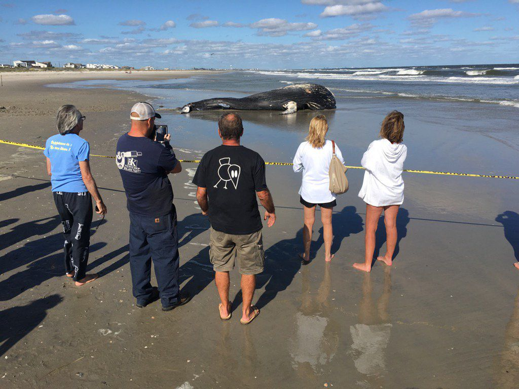 Young Humpback Whale Washes Up In Sea Isle City News