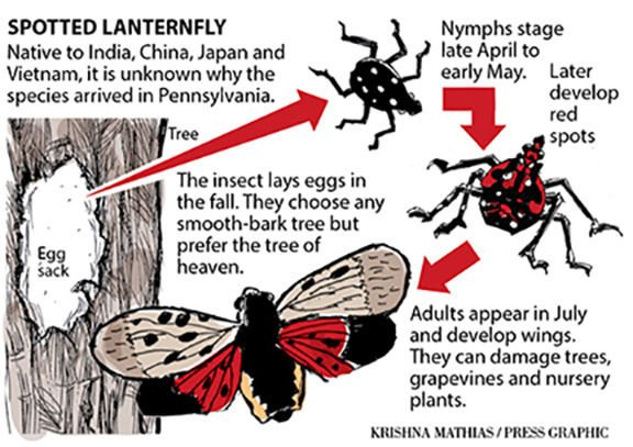 Spotted lanterfly