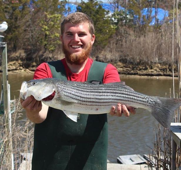 Shep on Fishing: Striped bass, black drumfish being taken