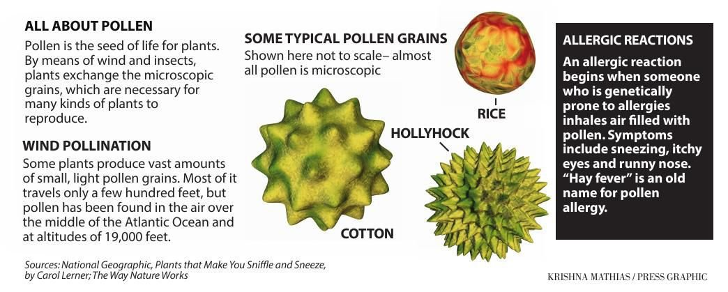 All about pollen allergy graphic