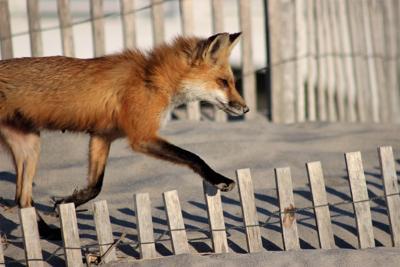 ocean city fox