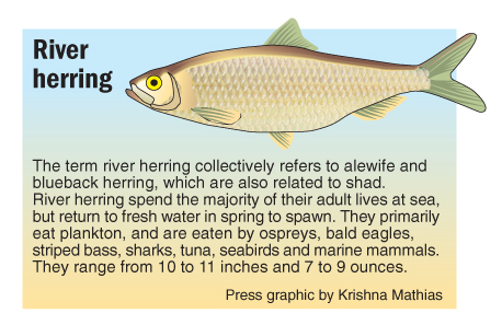 river herring graphic