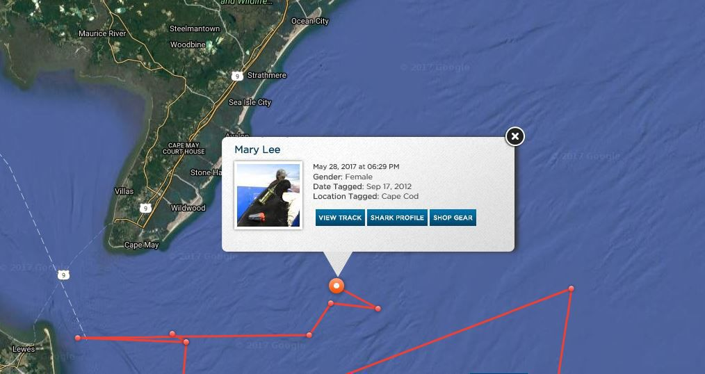 Latest position of the great white shark Mary Lee