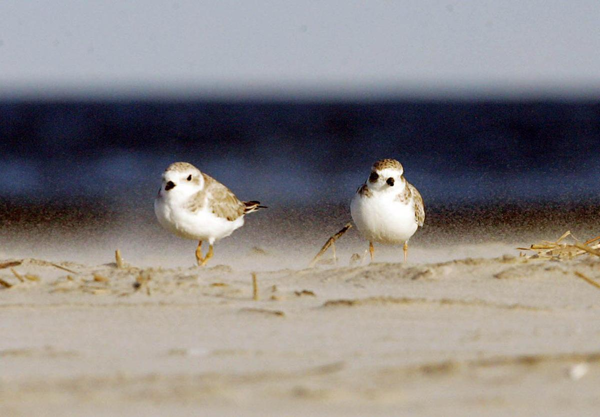 Endangered birds of New Jersey