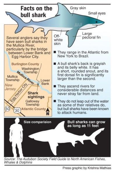 Bull sharks — or just bull — along Mullica River | Local