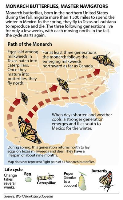 Monarch butterfly migration graphic