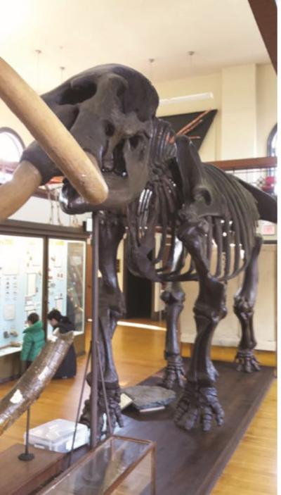 The Mannington Mastodon at the Rutgers Geology Museum