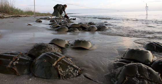 Horseshoe crab fishermen deserve help