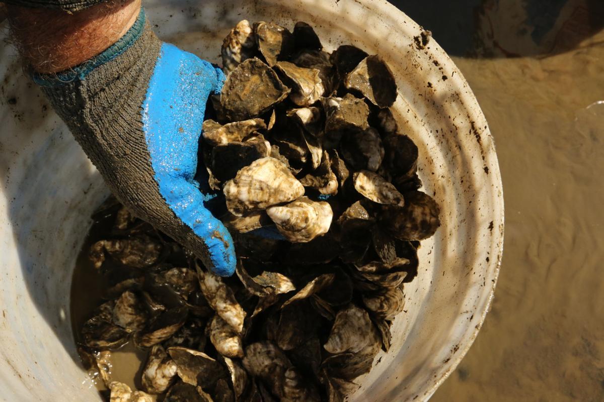 Delaware Bay Oyster Farming