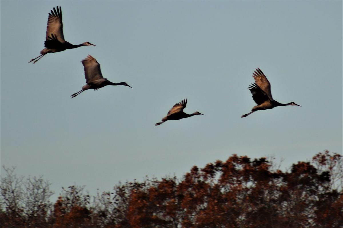 birds_Barlow Cranes 2