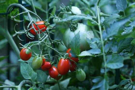 Impatient? Tips for a quicker vegetable harvest