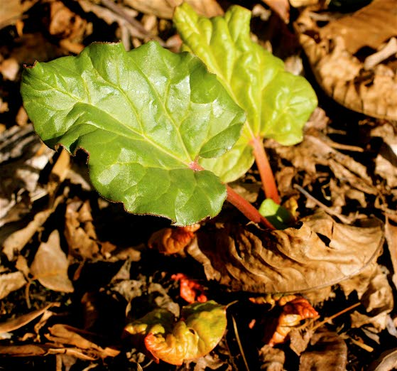 Rhubarb a good choice for southern New Jersey gardeners