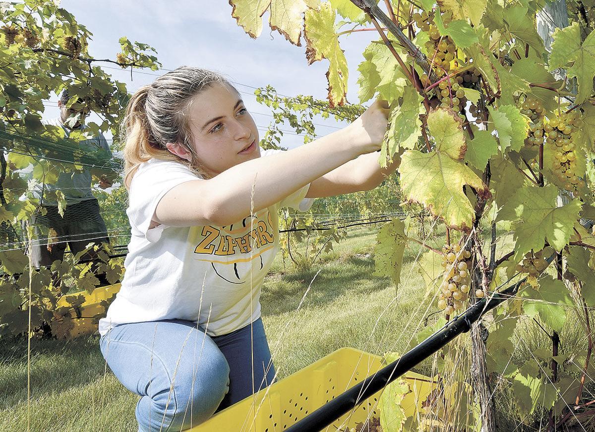 Vineyard-Harvest-Student-Bayley.jpg