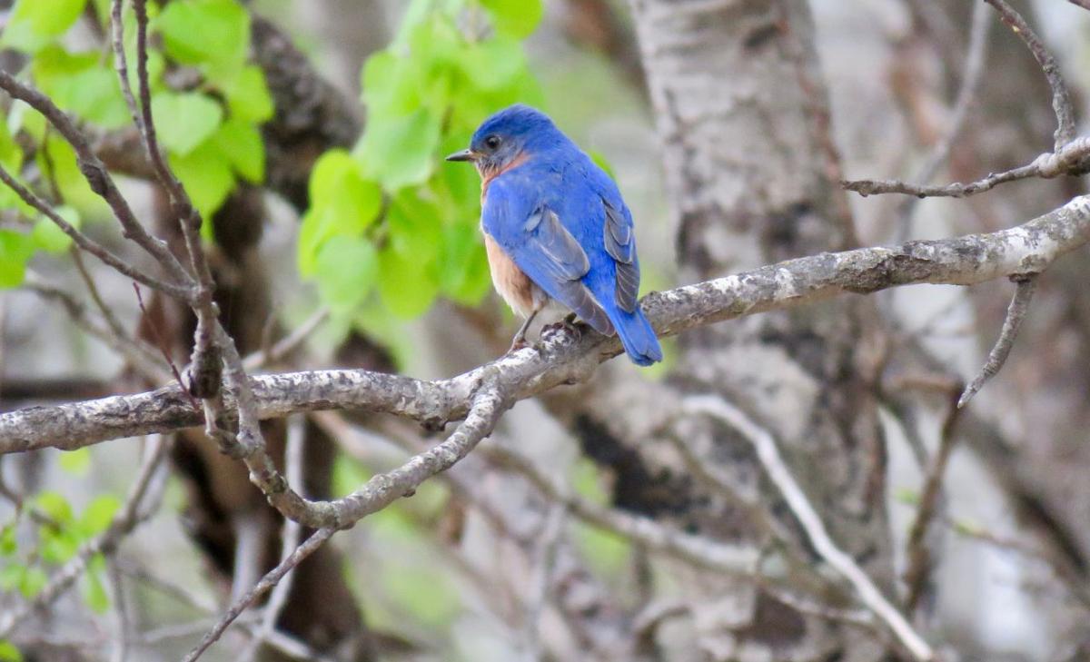 Eastern bluebird Afton