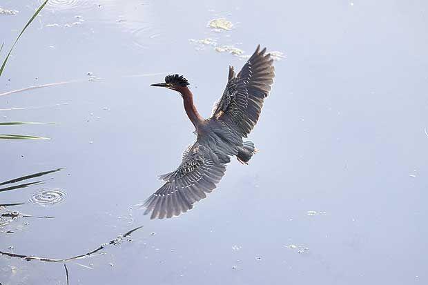 Q7-13-Green-heron-in-its-natural-habitat-3.jpg