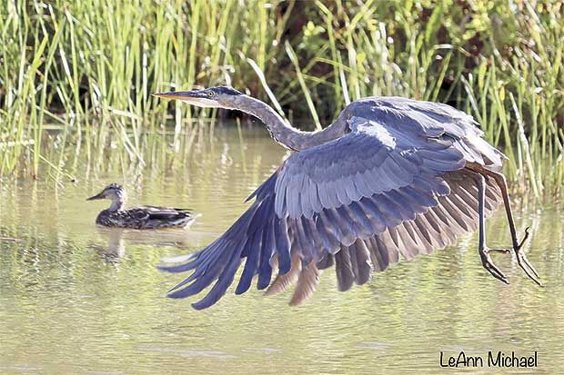 Q9-8-Blue-Heron.jpg