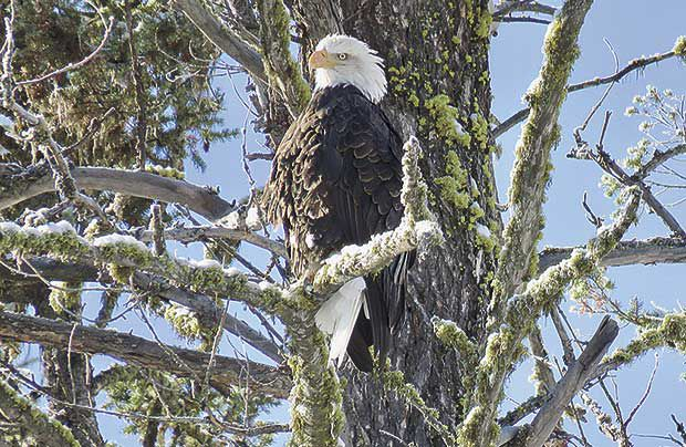Citizen scientists invited to help count bald eagles this January
