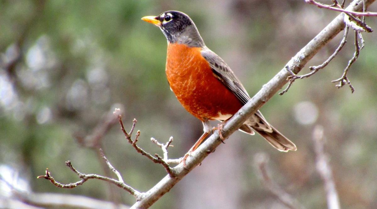 American robin Katherine Abbott