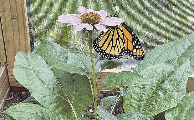 BF-monarch-on-flower-2.jpg