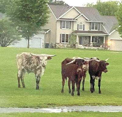 Cows on the MOOve!