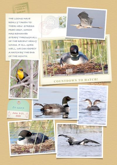 Loon Chronicles: Countdown to Hatch!