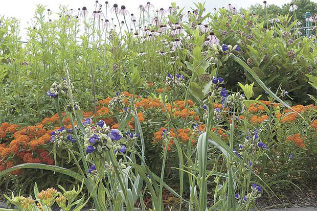 Native plants the bee's knees for pollinators, people