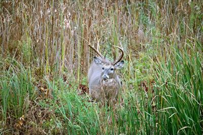 Buck tales and cattails