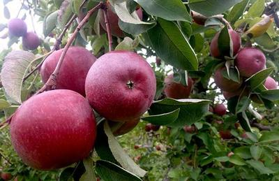Victoria Valley: Owner reflects on the apple-growing life