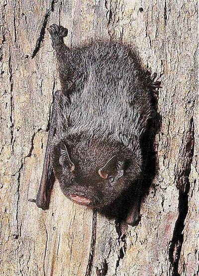 Tree-roosting bat lives along Vadnais watershed